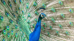 Beautiful Peacock Bird 5K Images