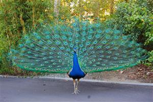 Beautiful Peacock on the Road