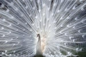Beautiful White Peafowl With Feathers