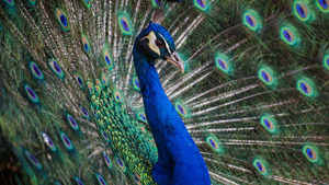 Benign Colorful Peacock 5K Wallpapers