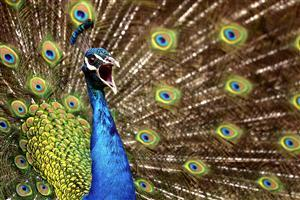 Colorful Peafowl with Feathers Wallpaper