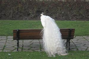 White Peacock Sitting on the Banch
