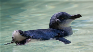Bird Penguin Baby Swiming in Water