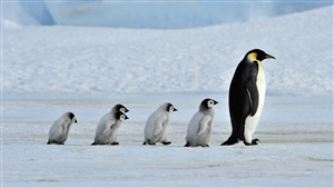 Bird Penguin Family Walking in Row