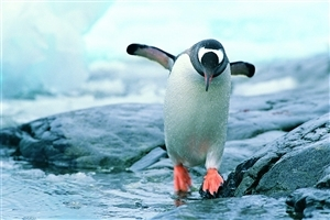 Bird Penguin HD Photo
