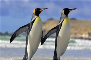 Black and White Two Penguins Bird Wallpapers for Desktop