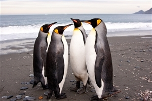Four Penguin Standing in front of Each Other Wallpaper