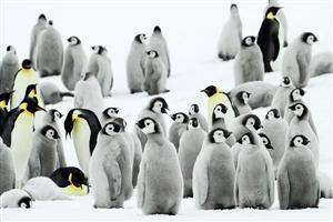 Group of Penguin in Snow