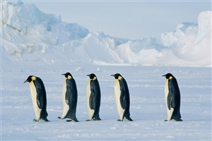 Penguin Birds on Antarctica Wallpapers