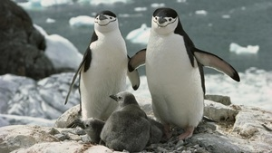 Penguin Family Near Beach
