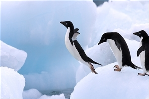 Penguin Jump in Water for Swimming Wallpapers