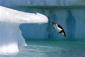 Penguin Jumping in Water Wallpaper