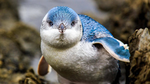 Superb Bird Penguin Baby