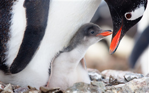 Superb Photo of Bird Penguin with Baby