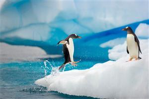 Two Penguin Playing in Snow