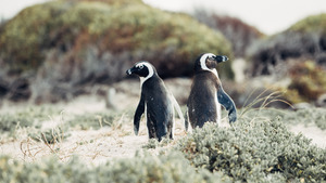 Two Seabird Penguin 5K