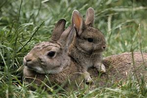 Babby Bunny with Mother Rabbit