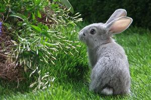 Cute Gray Rabbit in Grass