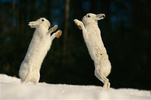 Image of Two Beutiful Rabbits Fights in Snowy Weather