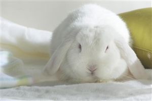 White Rabbit with Big Ear Photo