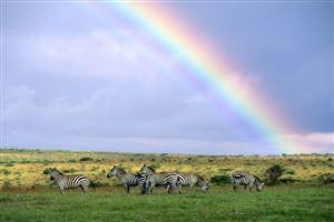 Animal Zebra with Rainbow