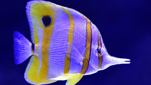 Beautiful White and Golden Fish 4K Wallpaper