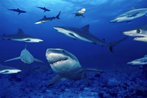 Shark Fish in Blue Sea