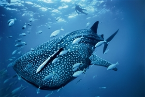 Whale Shark in Australian Blue Sea Animal Wallpaper