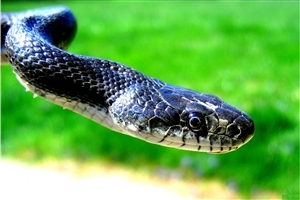 Black King Cobra Snake Face Closeup HD Wallpapers