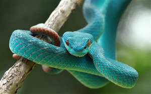 Blue Vipers Snake 5K Wallpaper