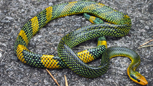 Free Download Pic of Rainbow Tree Snake