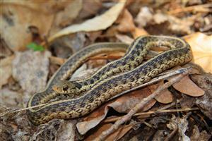 Garter Snake on Dry Leaf Pics
