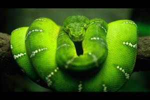 Green Snake on Tree Branch Image