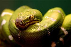 HD Green Snake Head Wallpaper