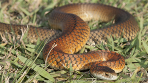 Image of Copperhead Red Snake
