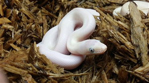 Pretty White Snake Baby Wallpaper