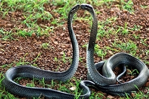 Two Snakes Doing Romance in Farm Image