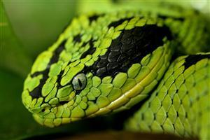 Wide Green Snake Head Wallpapers