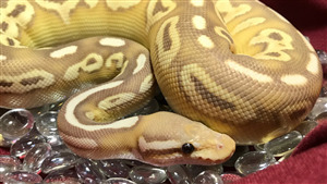 Yellow Banana Snake Photo