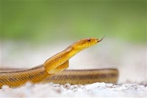 Yellow Snake HD Desktop Background Wallpaper