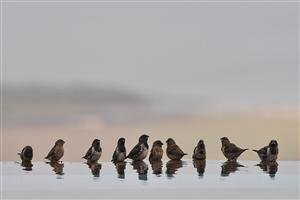 A Cute Row of Sparrow for Drinking Water