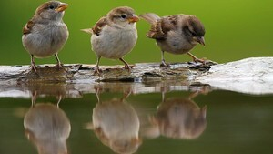 Affectionate Sparrow Seating in Row for Drinking Water Photo