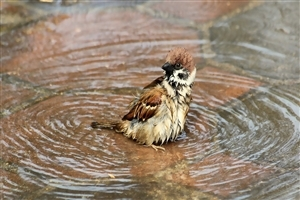 Cute Sparrow Bathing in Water
