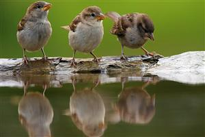 Cute Sparrows Drinking Water