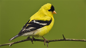Cute Yellow Sparrow