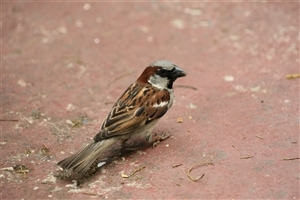 Indian Bird Sparrow Wallpaper Background