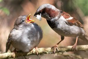 Passer Domesticus Male Feeding Chick