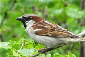 Sparrow Sitting in Tree Wallpaper