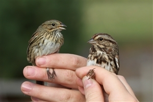 Two Beautiful Petronia Sparrow in Human Hand HD Bird Wallpaper