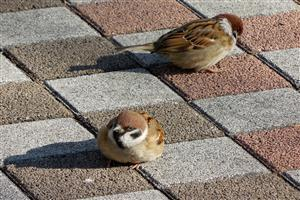Two Sparrow  Sitting on Tiles